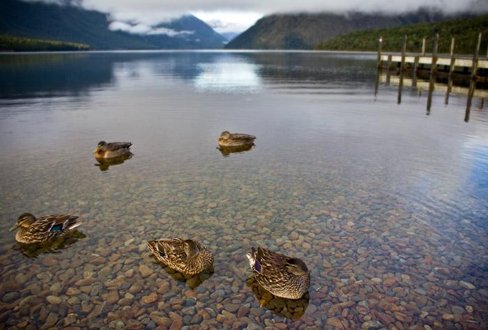 Ducks At Lake Rotoiti