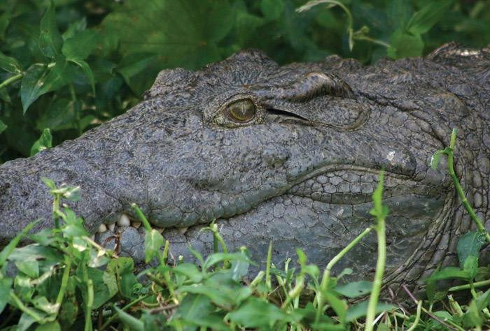 Nile Crocodile Uganda