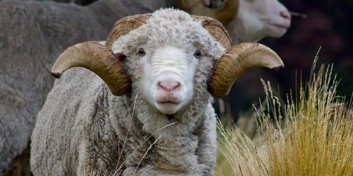 High Country Marino Ram
