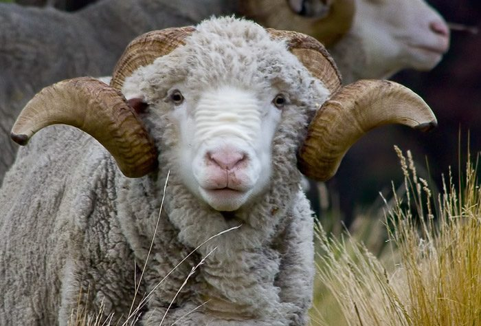 High Country Marino Ram