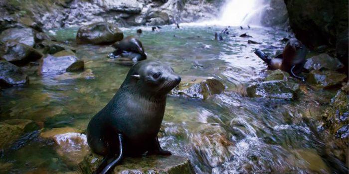 Seals At Ohau Stream, Kaikoura, New Zealand